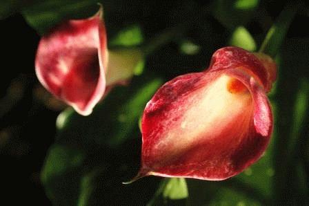 калла цветок фото