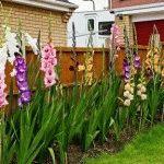 Проблемы при выращивании гладиолусов