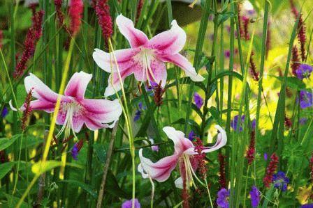 лилия от гибрид Anastasia фото