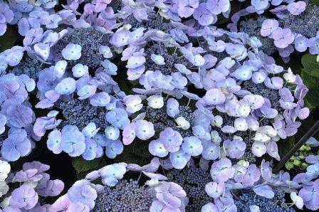 гортензия крупнолистная сорт  Blauling фото