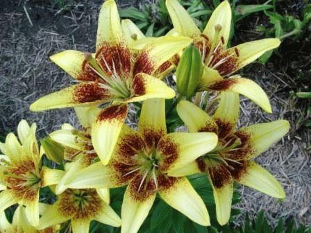 азиатская лилия гибрид Bumblebee фото