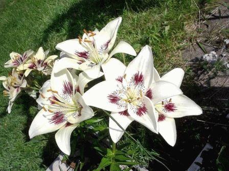 азиатская лилия гибрид Centerfold фото