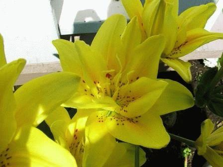 лилия от гибрид Double Yellow фото