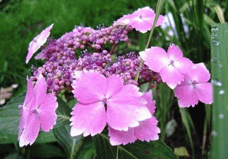 гортензия крупнолистная сорт  Lilacina фото