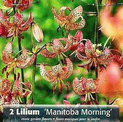 Lilium martagon Manitoba Morning