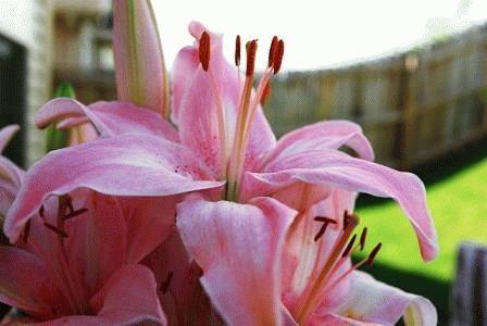 азиатская лилия гибрид Spring Pink  фото