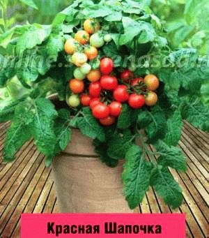 томат черри сорт  Красная шапочка фото