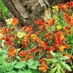 оранжевые цветы в саду фото