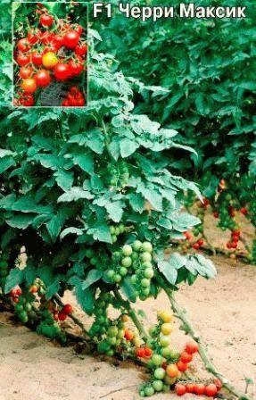 томат черри гибрид F1Максик фото