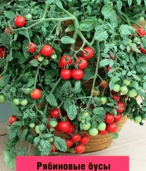 томат черри сорт  Рябиновые бусы фото