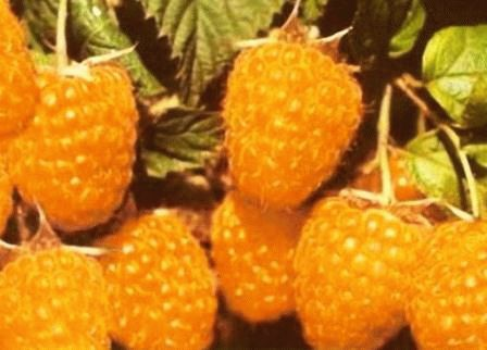 желтая малина абрикосовая сорт фото