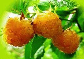 желтая малина сорт Амбер фото