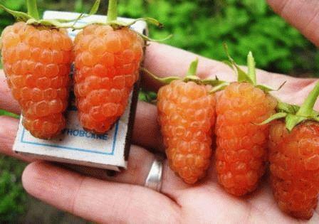 желтая малина сорт Оранжевое чудо фото
