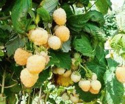 желтая малина сорт Спирина белая фото