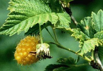 желтая малина сорт Желтая десертная фото