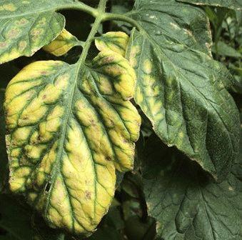 болезни томатов Дефицит магния фото