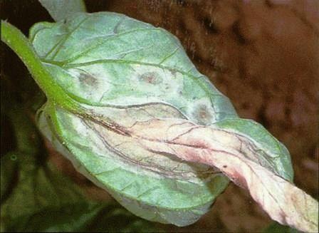 болезни томатов Фитофтороз фото