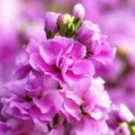 Левкой фото цветок