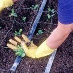 левкой выращивание из семян фото