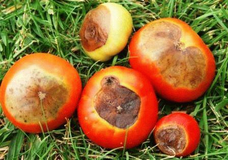 болезни томатов Вершинная гниль фото
