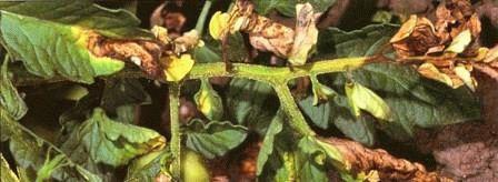 болезни томатов Вертициллез фото