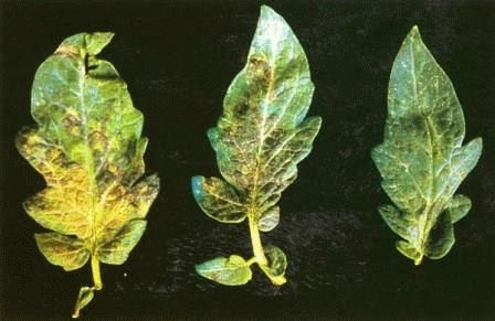 болезни томатов Вирусные заболевания фото