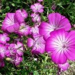 Агростемма (куколь) – описание и фото цветка