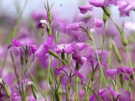 цветы агростемма фото