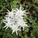 Эдельвейс альпийский – горный цветок в вашем саду, выращивание, фото