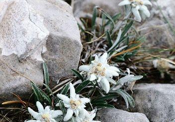 Эдельвейс альпийский фото