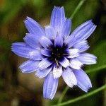 катананхе фото цветка