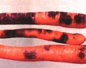 Черная гниль моркови фото