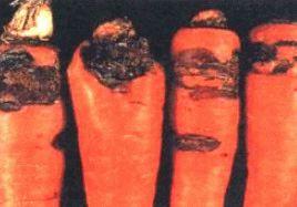 Ризоктониоз моркови фото