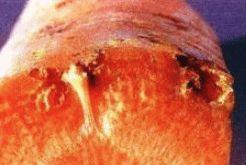 Повреждение морковной мухой фото