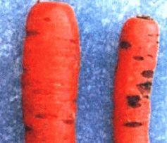Птиозная гниль моркови фото