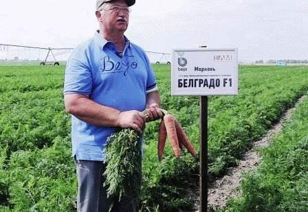морковь Белградо фото