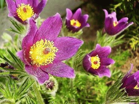 прострел цветок фото