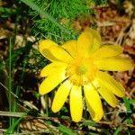 Адонис весенний, выращивание цветов в саду