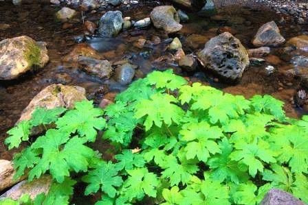 дармера растение фото