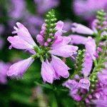 Физостегия виргинская – фото цветка, выращивание в саду