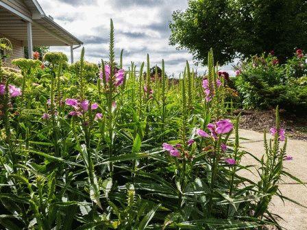 Физостегия фото в саду