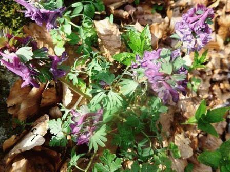 хохлатка цветы фото