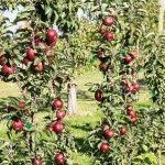 Яблоня колоновидная – лучшие сорта, описание и фото