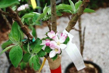 посадка колоновидной яблони весной
