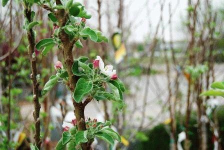 как правильно посадить колоновидную яблоню