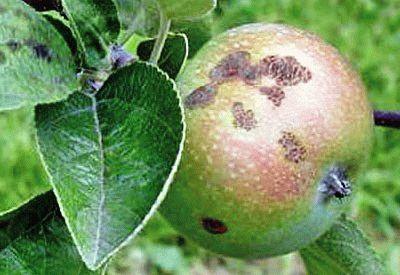 ПАРША на яблоне фото