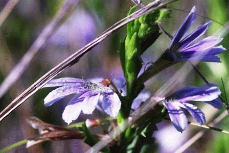 сцевола фото цветов