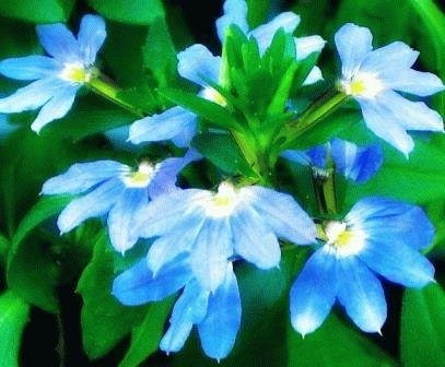 сцевола голубая фото