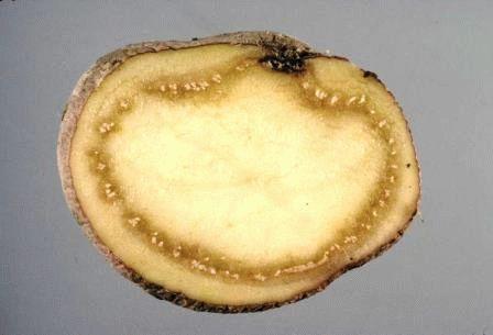 картофель бурая гниль фото
