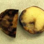картофель фитофтороз фото